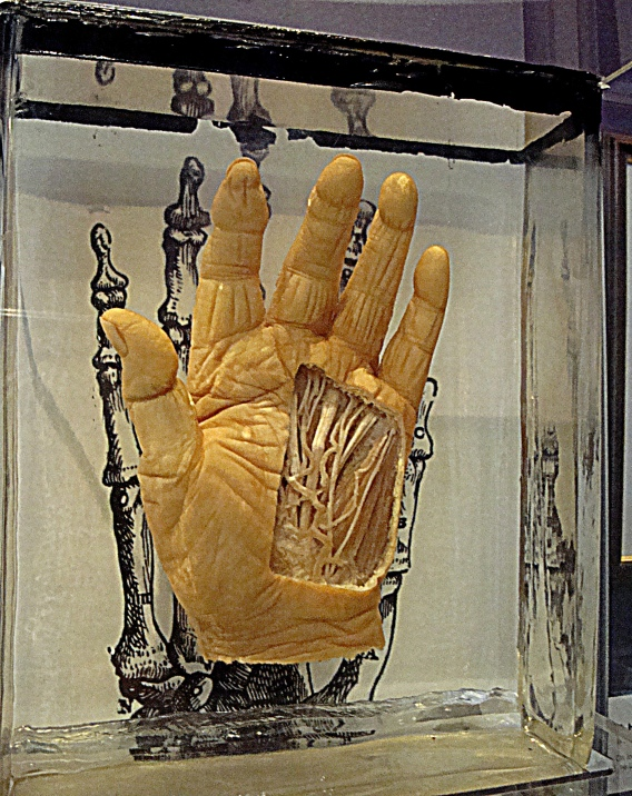 Scientific IlluminationAnatomy of the human hand - Melbourne Museum