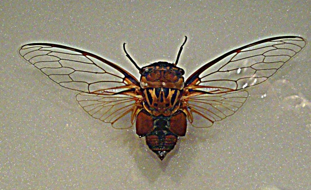 Cicada - Melbourne Museum