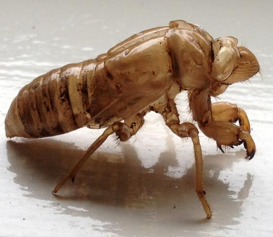 Abandoned Cicada Exoskeleton